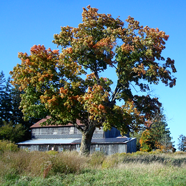 Coloured leaves on the maple tree behind the barn