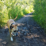 A dog walking off leash along a muddy path