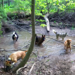 Five dogs wading in a pond in the forest