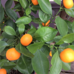 Orange tree growing in a pot