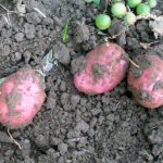Red potatoes lying on the dirt