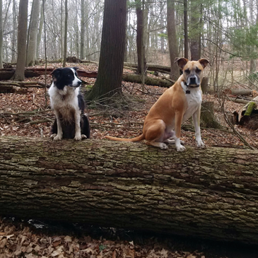 Two dogs sitting on a log in the forest
