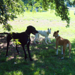 Three dogs greeting each other at the dog park